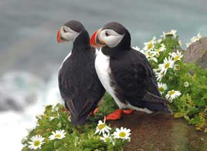 Puffins - photo courtesy of sxc.com