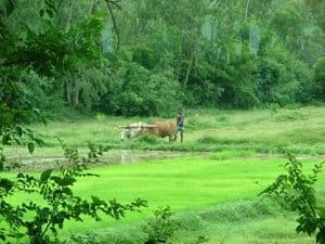 Plowing a rice paddy with a water buffalo.