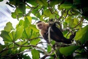 Capuchin monkey in Manuel Antonio, Costa Rica.