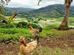 Wild chickens in Hanalei Valley, in Kauai.