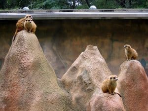 Meerkats are a popular attraction at Chehaw Park in Albany.