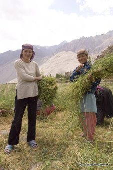 Alchi women threshing corn in the traditional manner.