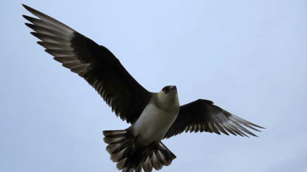Long tailed Skua in the Arctic. photo by David Rich.