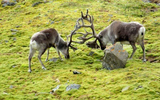 Reindeer Warfare
