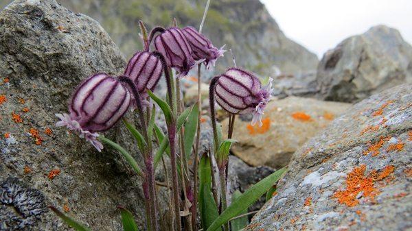 Striped Lavender Bluebell