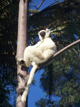 a sifaka in Madagascar. photo by Malee Ott.