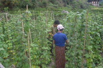Bhutanese farmers working in a bean field.