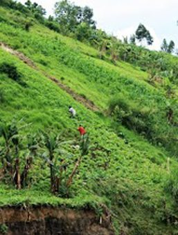 Women work the steep fields along the foothills, deftly maintaining their footing on the slippery muddy slopes.