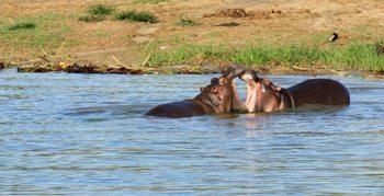 Hippos in Uganda. Shara Johnson photo.