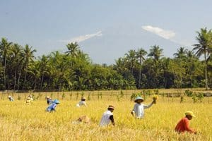 Harvesting the rice.