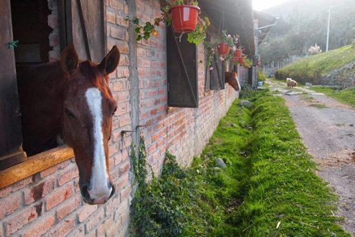 At the horsebarn of Hacienda Caballo in Cuenca.