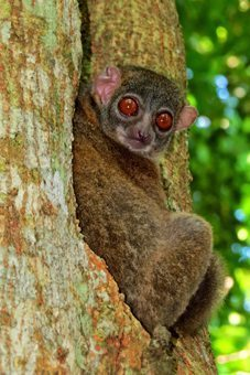 A lemur at Lokobe reserve, Madagascar