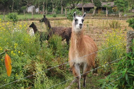 A friendly llama outside of Otavalo, Ecuador.