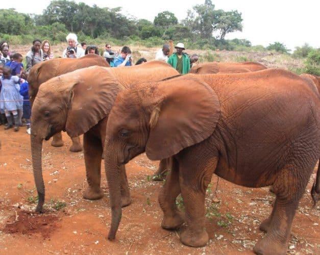 Orphaned elephants at the Sheldrick Wildlife Trust in Nairobi, Kenya. Susan McKee Photo