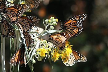 Close up of a monarch butterfly in Mexico. photos by Molly Beer.