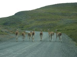 A traffic jam of guanacos on the windy road.