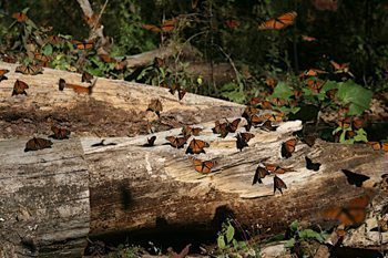 Logging in Mexico, compounded by milkweed eradication in the US and Canada, threatens these monarchs that winter at Sierra Chincua (http://www.monarchwatch.org).