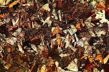 A mass of monarchs.