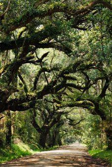 Canopy road in South Carolina.