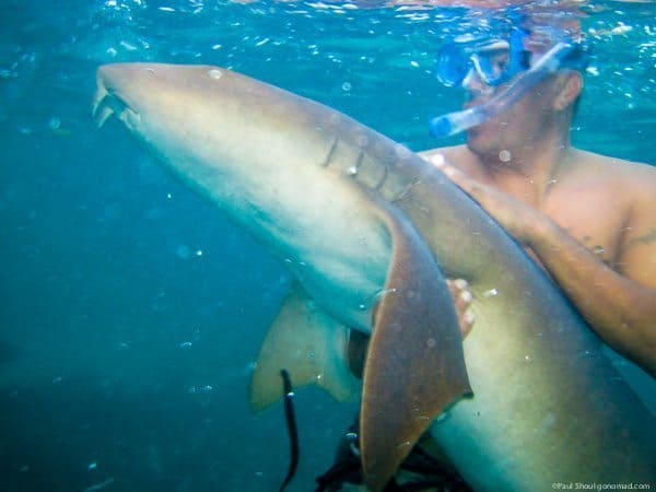 Swimming with nurse sharks in Ambergris Caye Belize. Paul Shoul photo.