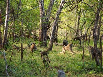 Baboons in the forest.