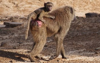 An olive baboon with its infant.