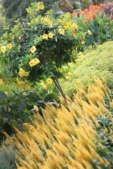 Layered banks of colour - 'Century Yellow' Celosia and Allamanda on Flower Garden Walk.
