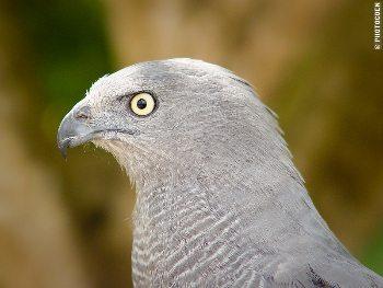 A falcon at a park in Brazil.
