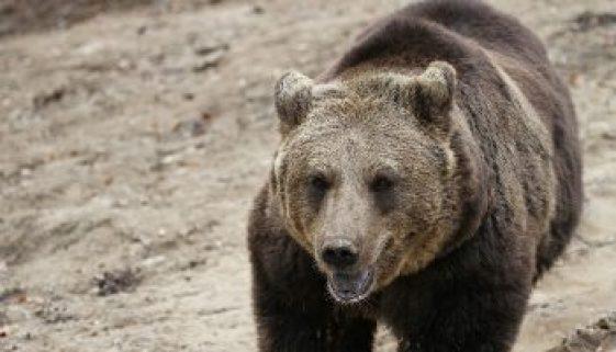 A European brown bear at the Zarnesti Libearty Bear Sanctuary. photos by Adam Eagle.