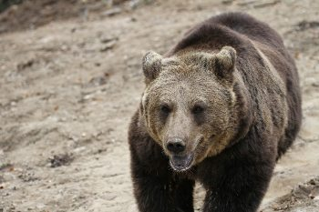 A European brown bear at the Zarnesti Libearty Bear Sanctuary. photos by Adam Eagle.