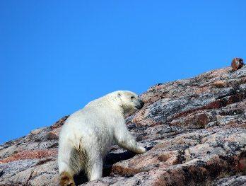 polar bear walks along the rocks in the Arctic