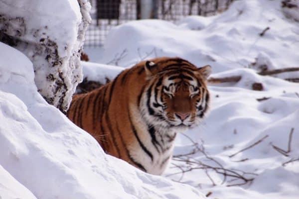 A Siberian tiger at the Assiniboine Park zoo, where a polar bear exhibit is being built.