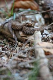 Other animals await while in pursuit of the bears, like this snake.