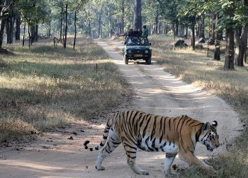 A tiger in the Pench National Park, India. photos by Mridula Dwivedi.