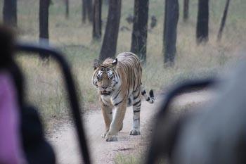 India: Viewing Tigers Up Close