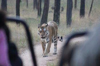 A tigress approaches.