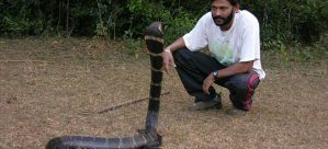A tour guide interacting with a King Cobra