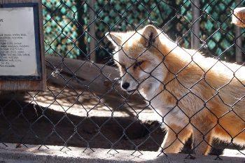 A fox at Big Bear Alpine Zoo.