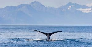 A majestic humback whale in the Arctic near Greenland. Take a journey to the frigid north.