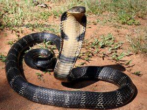 India: A Cobra Tour
