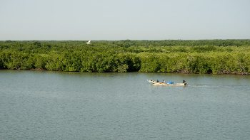 A mangrove in Senegal.