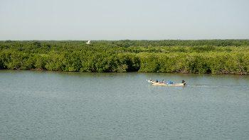 A mangrove in Senegal.