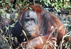 Knobi the Orangutan.