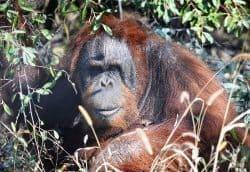 Knobi the Orangutan.