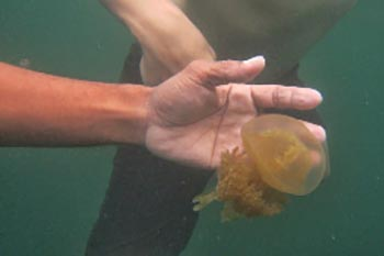Indonesia: A Mysterious Jellyfish Lake
