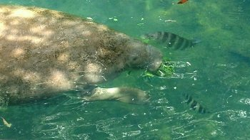 A rescued manatee eating some lettuce in Homosassa Springs