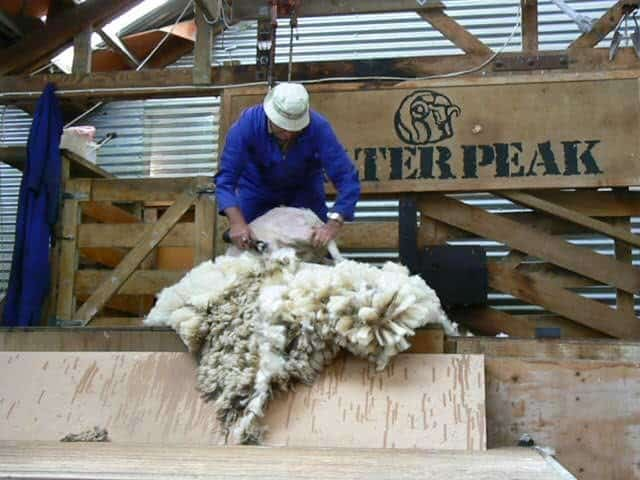 A sheep shearer at Walter Peak farm in Queenstown, NZ. Max Hartshorne photo.