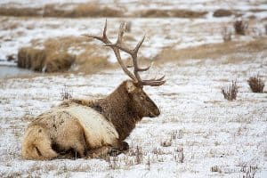 A sitting elk in the Tetons near Jackson Hole Wyoming. Didrik Johnck photos.