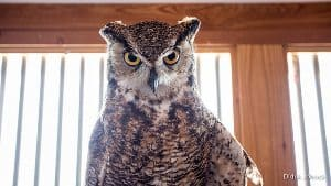 An owl at the Teton Raptor Center.