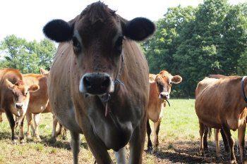 Happy cows at Butterworks farm, Westfield Vermont.